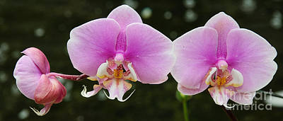 Orchids Photograph - A Fragile Elegance by Andee Design