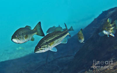 Largemouth Photograph - A Gang Of Largemouth Bass Swimming by Terry Moore