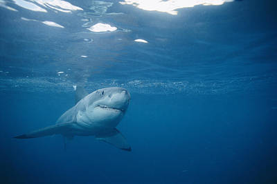 A Great White Shark Carcharodon Print by Brian J. Skerry