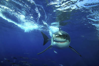 A Great White Shark Carcharodon Print by Raul Touzon