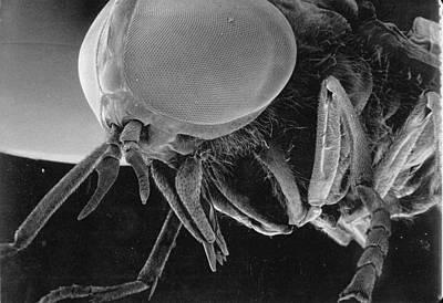 A Greenhead Fly Tabanus Nigrovittatus Print by Darlyne A. Murawski