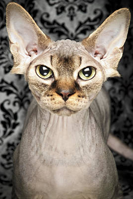 Hairless Cat Photograph - A Hairless Sphynx by Chad Latta