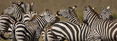 A Herd Of Zebra Stand In A Plain Print by Ralph Lee Hopkins