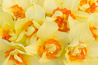 Spring Bulbs Photograph - A Host Of Golden Daffodils by Ann Garrett