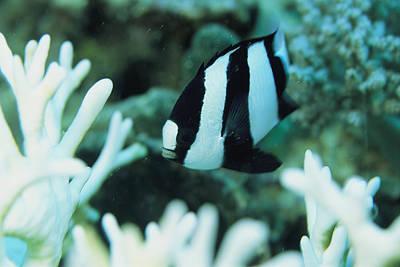 A Humbug Dascyllus Fish Swims Print by Tim Laman