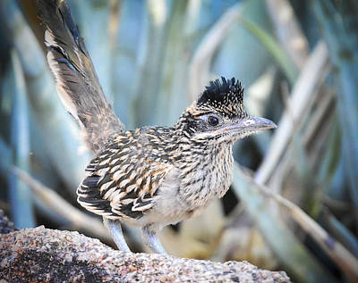 Roadrunner Photograph - A Juvenile Greater Roadrunner  by Saija  Lehtonen
