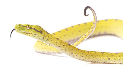 Burmese Python Photograph - A Juvenile Green Tree Python Sits Alert by Brooke Whatnall