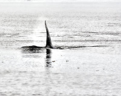 Orca Digital Art - A Killer Whale Approaches by Darryl Luscombe