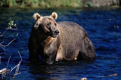 A Kodiak Brown Bear Wades In An Alaska Print by George F. Mobley
