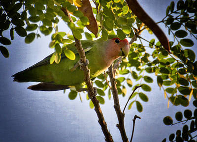 Lovebird Photograph - A Little Love  by Saija  Lehtonen