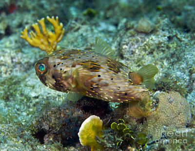 Porcupine Fish Photograph - A Long-spined Porcupinefish, Key Largo by Terry Moore