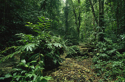 A Lush Woodland View In Papua New Print by Klaus Nigge