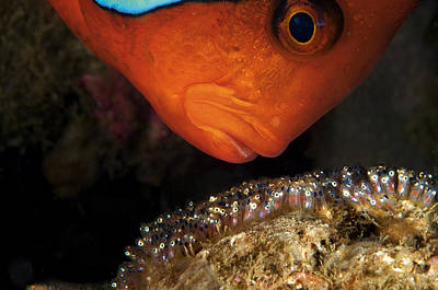 Development Of Life Photograph - A Male Tomato Clownfish Tends by David Doubilet