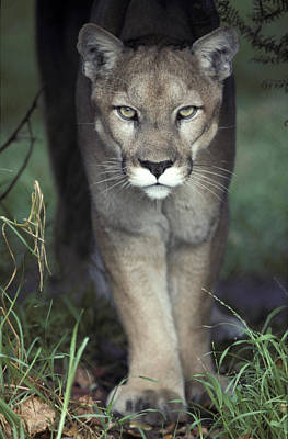 A Mesmerising Glare Of A Stalking Puma Print by Jason Edwards