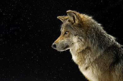 Wolf Photograph - A Mexican Gray Wolf At The Wild Canid by Joel Sartore