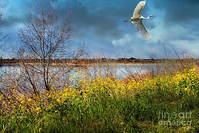 A Moment In Time In The Journey Of The Great White Egret . 7d12643 Print by Wingsdomain Art and Photography