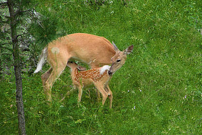 A Mother's Love - Doe And Fawn Print by Christine Till