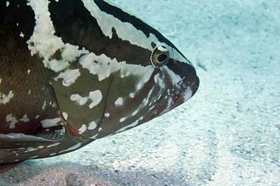 A Nassau Grouper Swims Along The Ocean Print by Michael Wood