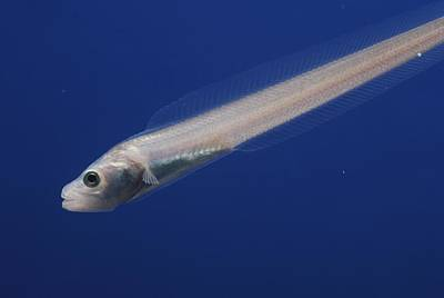 A Nearly Transparent Pallid Eelpout Print by Bill Curtsinger