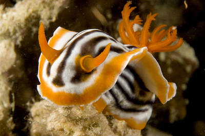 A Nudibranch Crawls Over The Reef Print by Tim Laman
