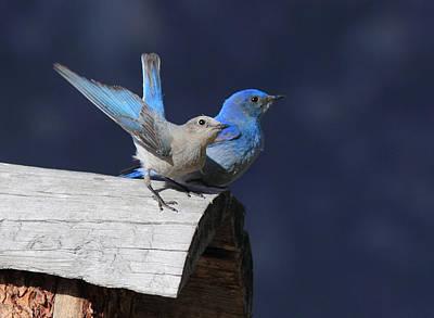 Birds Photograph - A Pair Of Bluebirds by Shane Bechler