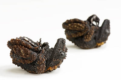 Self Shot Photograph - A Pair Of Gordons Mossy Frogs by Joel Sartore