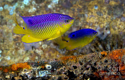 A Pair Of Juvenile Cocoa Damselfish Print by Michael Wood