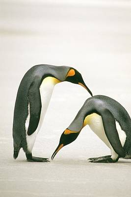 A Pair Of King Penguins In A Courtship Print by Ralph Lee Hopkins