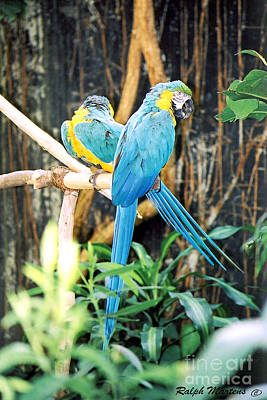 Macaw Photograph - A Pair Of Macaws by Ralph Martens