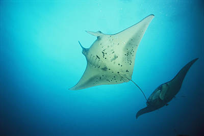 A Pair Of Manta Rays In The Waters Print by Heather Perry