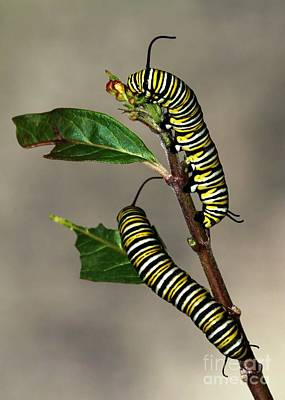 A Pair Of Monarch Caterpillars Print by Sabrina L Ryan