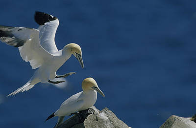 A Pair Of Northern Gannets  On Cliffs Print by Norbert Rosing