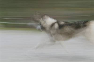 A Panned View Of A Sled Dog Running Print by Rich Reid