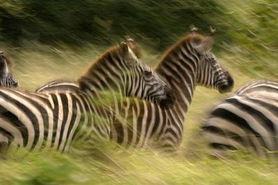 A Panned View Of Common Zebras Running Print by Roy Toft