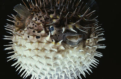 Porcupine Fish Photograph - A Porcupine Fish Swells To Twice by David Doubilet