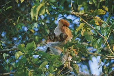 A Proboscis Monkey With Her Twin Print by Tim Laman
