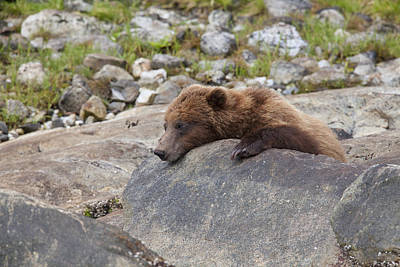 Prints Of Alaska Photograph - A Quick Nap by Tim Grams