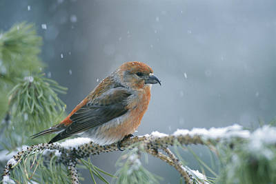 Crossbill Photograph - A Red Crossbill Loxia Curvirostra by Michael S. Quinton