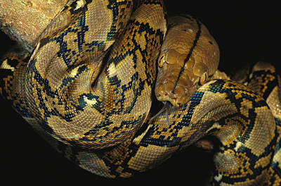 Burmese Python Photograph - A Reticulated Python Wound by Tim Laman