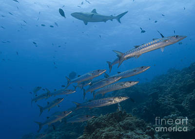 A School Of Pickhandle Barracuda, Papua Print by Steve Jones