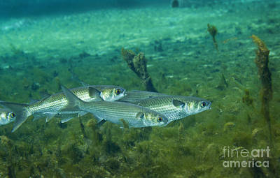 A School Of Striped Mullet Wim Print by Michael Wood