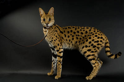 A Serval Leptailurus Serval Print by Joel Sartore