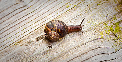 A Snail Sliding Across A Wooden Surface Print by Tom Gowanlock