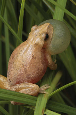 Spring Peepers Photograph - A Spring Peeper Calls For A Mate by George Grall