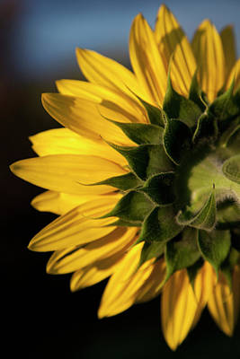 Single Object Photograph - A Sunflower Close-up, Rear View by Tobias Titz