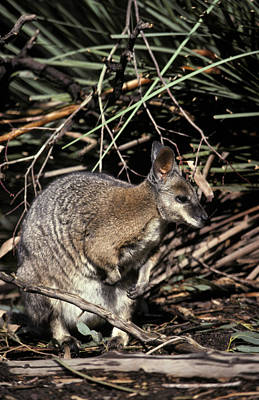 Warrawong Photograph - A Tammar Wallaby With Ears Alert by Jason Edwards