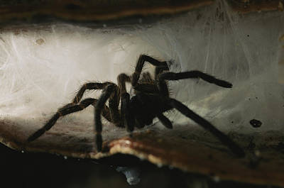 Danum Valley Conservation Area Photograph - A Tarantula, Family Theraphosidae by Tim Laman