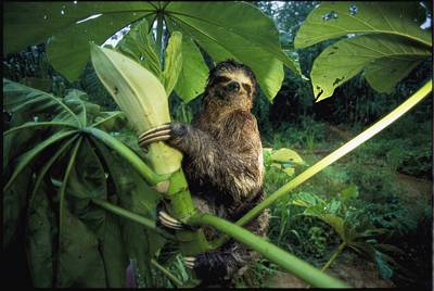 A Three-toed Sloth Feeds On The Leaves Print by Joel Sartore