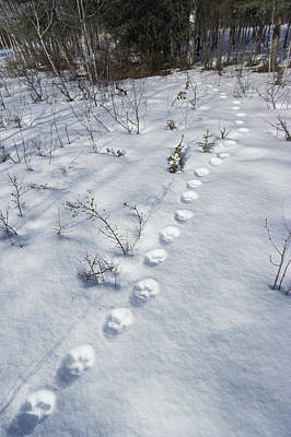 Canadian Lynx Photograph - A Trail Of Lynx Tracks In The Snow by Paul Nicklen