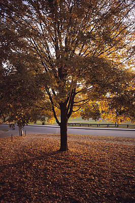 A Tree In Autumn Foliage On The Grounds Print by Sam Abell